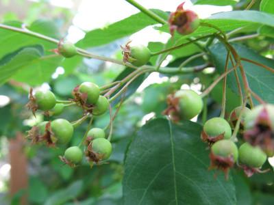 Juneberry1