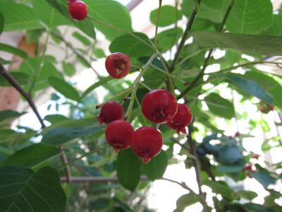 Juneberry2